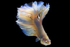 Halbmond-Siamesische Kampffische Lizenzfreie Stockfotografie