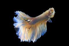 Halbmond-Siamesische Kampffische Stockfotografie