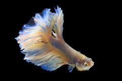 Halbmond-Siamesische Kampffische Stockfotos