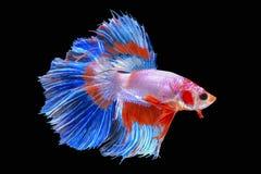 Halbmond-Siamesische Kampffische lokalisiert auf schwarzem Hintergrund Lizenzfreies Stockfoto