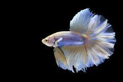 Halbmond-Siamesischer Kampffisch Lizenzfreie Stockfotos
