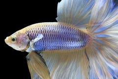 Halbmond-Siamesischer Kampffisch Stockfotografie