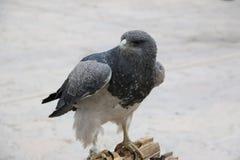 Halcón-Águila Negro-De pecho imagenes de archivo