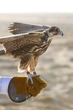 Halcón árabe en el guante del halconero Fotos de archivo libres de regalías