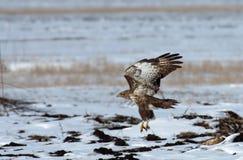 halcón Áspero-legged Fotografía de archivo libre de regalías