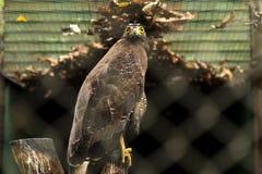 halcón Fotografía de archivo