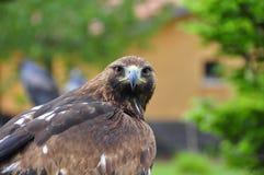 halcón Foto de archivo