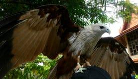 halcón Imagen de archivo