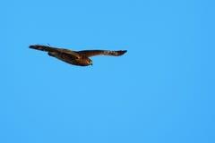 halcón Amplio-con alas Imagen de archivo libre de regalías