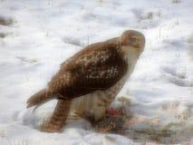 halcón Amplio-con alas que come una ardilla fotos de archivo libres de regalías