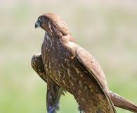 Halcón (cherrug del Falco) Imagen de archivo libre de regalías