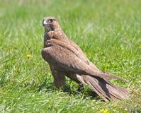 Halcón (cherrug del Falco) Foto de archivo