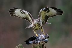 Halcón común que se coloca con el woodpigeon muerto en una madera Foto de archivo