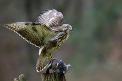 Halcón común que se sienta con el woodpigeon muerto en una madera Imagen de archivo