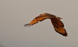 Halcón de la sabana en vuelo Fotografía de archivo