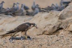 Halcón de Lanner que come la paloma Foto de archivo libre de regalías
