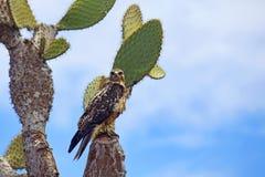 Halcón de las Islas Gal3apagos en Santa Fe Foto de archivo