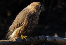 Halcón de MERLIN o de paloma Imagenes de archivo