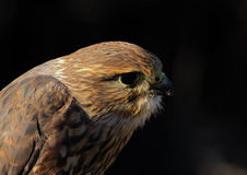 Halcón de MERLIN o de paloma (retrato) Imagenes de archivo