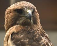 Halcón de paloma Imagenes de archivo