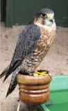 halcón de peregrino Imagen de archivo