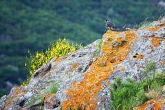 Halcón de peregrino en una roca con los lychens Foto de archivo