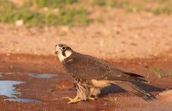 Halcón de peregrino (Falco Peregrinus) Foto de archivo