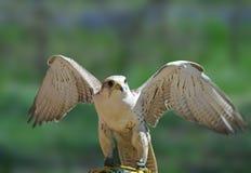 Halcón de peregrino (peregrinus del Falco) Imágenes de archivo libres de regalías