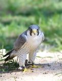 Halcón de peregrino (peregrinus del Falco) Foto de archivo
