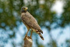 Halcón del borde de la carretera - pájaro relativamente pequeño de los magnirostris de Rupornis de presa encontrado en las Améric imagen de archivo libre de regalías
