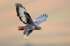 Halcón del chacal en vuelo Foto de archivo libre de regalías