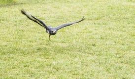 Halcón del chacal en vuelo en Thorpe Perrow Foto de archivo