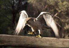 Halcón del pájaro que mira su presa foto de archivo