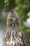 Halcón-Eagle - cirrhatus cambiables de Spizaetus imagenes de archivo