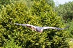 Halcón-Eagle Negro-de pecho Foto de archivo