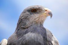 halcón-Eagle Negro-de pecho en el mercado en Maca, barranco de Colca, Imagen de archivo