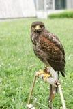 Halcón - el halcón está listo para cazar, la situación del halcón y mirar Imagen de archivo