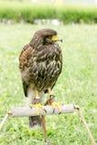 Halcón - el halcón está listo para cazar, el señor del cielo, de la situación del halcón y de la mirada Fotos de archivo