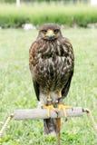 Halcón - el halcón está listo para cazar, el señor del cielo, de la situación del halcón y de la mirada Fotos de archivo libres de regalías