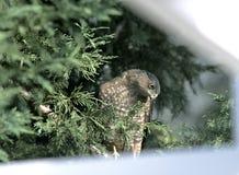 Halcón en árbol del patio trasero Imagen de archivo libre de regalías