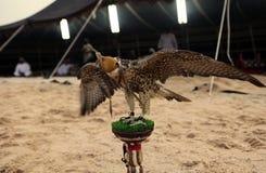 Halcón en el campo beduino árabe Fotografía de archivo