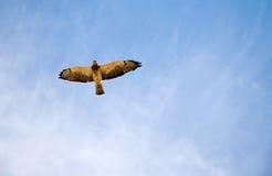 Halcón en el cielo Imagen de archivo