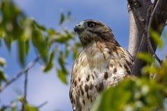 Halcón en un árbol. Fotos de archivo