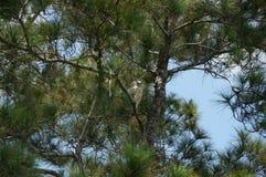 Halcón encaramado en árbol Imagenes de archivo