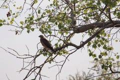 Halcón encaramado en árbol Imagen de archivo
