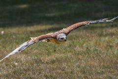 Halcón ferruginoso en vuelo Fotografía de archivo