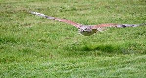 Halcón ferruginoso en vuelo Imagen de archivo