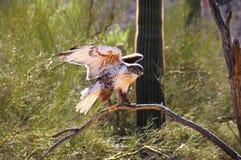 Halcón ferruginoso Foto de archivo libre de regalías