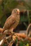 Halcón, halcón Rufo-con alas Foto de archivo