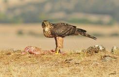 halcón joven del águila Fotografía de archivo